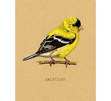 Gold Finch Bird Photographic Print