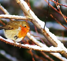 Robin...a 'trad' Christmas shot by scribblerjo
