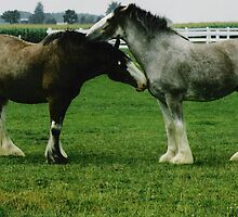 Clydesdales by David M. Bull