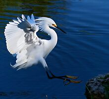 Snowy Egret Landing on Rock by sandrino
