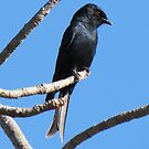 Mikstertbyvanger / Fork-tailed drongo by Elizabeth Kendall