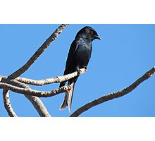 Mikstertbyvanger / Fork-tailed drongo Photographic Print