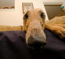 Greyhound by flstevemck