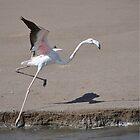 Flamingo by Cheryl Westerdale