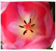 Tulips Closeup Poster