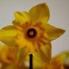 Daffodil Stare by pepemczolz