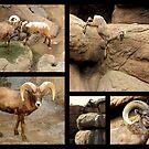 Bighorn Sheep ~ Collage by Kimberly Chadwick