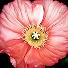 Bright Pink Poppy by Erin Johnson