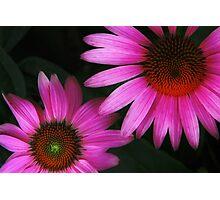 Purple Coneflowers Photographic Print