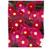 Daisies, Red and Pink Poster