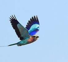 Lilac Breasted Roller in full flight by John Banks