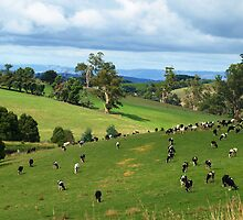 Cattle grazing at Neerim South, Gippsland, Victoria by Bev Pascoe