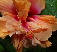 Apricot double Hibiscus. by Virginia McGowan