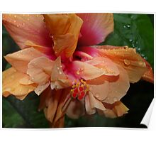 Apricot double Hibiscus. Poster