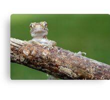 dwarf gecko Canvas Print