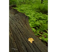 Maple's Resting Spot - Maple Leaf in Fern Forest Photographic Print