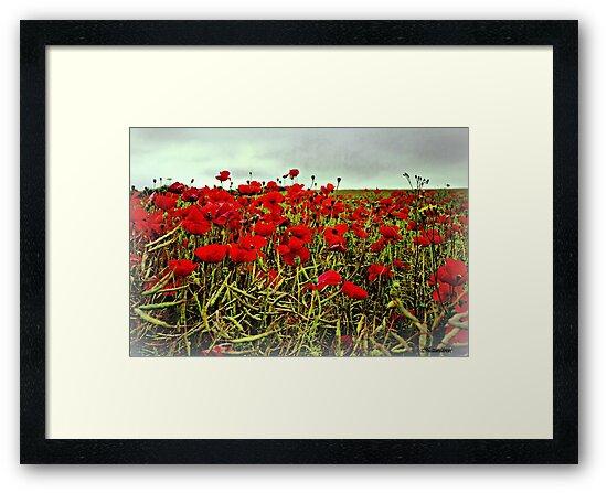 Red Glow of Poppy Fields by naturelover