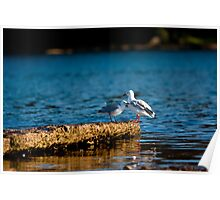 Seagulls Chatting Poster