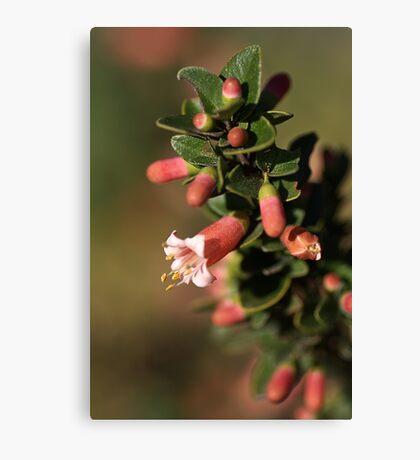 Australian Fuchsia Canvas Print