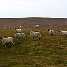 Moorland Sheep by Trevor Kersley