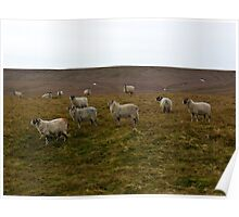 Moorland Sheep Poster