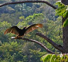 Turkey Vulture Display by Karel Kuran