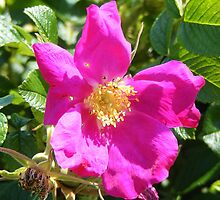 Wild Rose,  Rye Beach, NH by Thomas Stevens