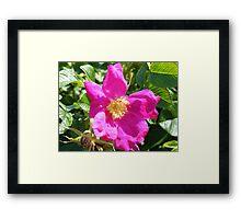 Wild Rose,  Rye Beach, NH Framed Print