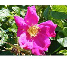 Wild Rose,  Rye Beach, NH Photographic Print