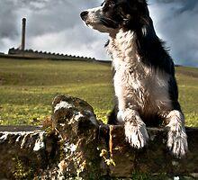 A Watchful Eye - Border Collie watching sheep by Alexander  Mieszkowski