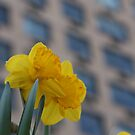 Daffodils in the City by ElyseFradkin