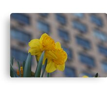 Daffodils in the City Canvas Print