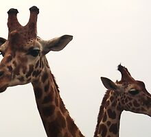 Giraffe's Chatting at Colchester Zoo by MichelleRees