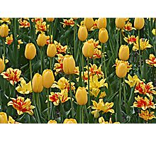 The Tulip Patch Photographic Print