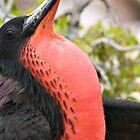 Frigate Bird - Galapagos Islands by Sue Earnshaw