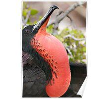 Frigate Bird - Galapagos Islands Poster