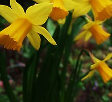 Spring Yellow by MichelleRees