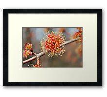Spring Fireworks II  (Maple Tree) Framed Print