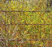 Barbed Wire With Mustard by sbroggie