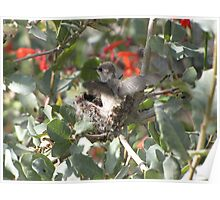 Costa's Hummingbirds ~ Preparing to leave Poster