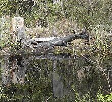 ALLIGATOR SWAMP REFLECTIONS by librapat