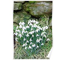 Snowdrops by the Wall Poster