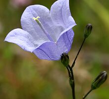 Harebell by Roger Butterfield