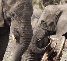 elephants 2 by Evette Lisle