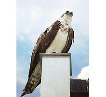 Handsome Osprey - Birds in Florida Photographic Print