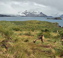 Fur Seals and Glaciers Prion Island South Georgia by Janette Rodgers