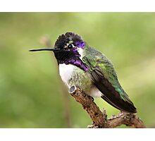 Costa's Hummingbird ~ Male II Photographic Print