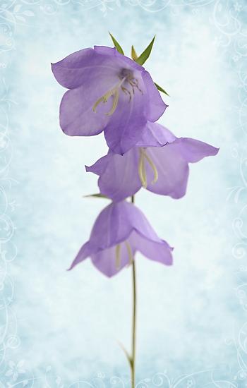 bellflower by OldaSimek