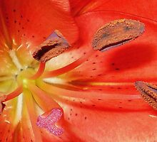 Hippeastrum in macro by EdsMum