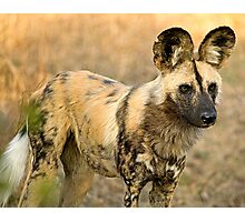 African Wild Dog Close Up Photographic Print